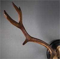 1890 Fallow Deer Antler Trophy Rack