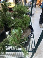 FRIDAY NIGHT LIVE PLANT AND TREE AUCTION 5:30Pm
