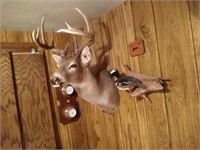 Whitetail Buck Taxidermy #1