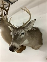 6 Point White Tail Texas Deer Shoulder Mount