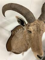 Female Aoudad Sheep Shoulder Mount