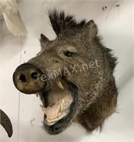 Wild Boar Shoulder Mount