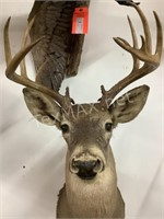 12 Point White Tail Shoulder Mount