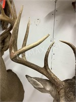 10 Point White Tail Shoulder Mount