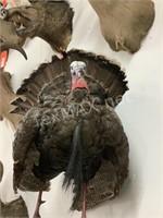 South Texas Turkey Mount
