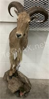 Half Body on Stand Male Aoudad Mount