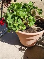 Geranium Plant In Pot #4