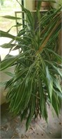 Large house plant with pot