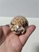 Ghost Tiger Cowrie Shell