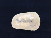 Fossilized prehistoric teeth in stone, approx