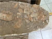 Large prehistoric crocodile fossilized bones,