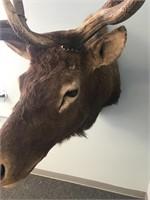 Massive Elk Mount