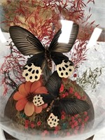 11 - BUTTERFLY IN DISPLAY CASE