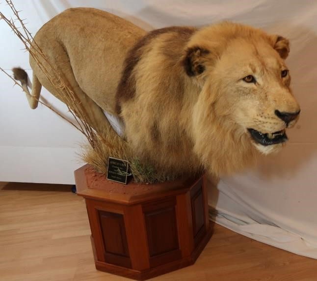 African Lion-Panthera Leo from South Africa- 8 ft