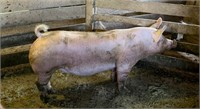 Bustin' Out of the Barn - St. Mary's Youth Livestock Auction