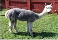 "Reg. Female Alpaca ""Storybook's Curious Belle"""