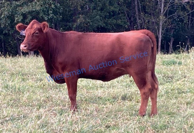 719E BRED COW