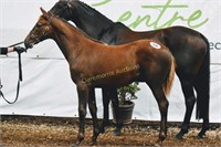Ireland West Foal Championship & Sale - Sun 27th Sept