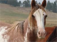 Sweet Grass Ranch Horse Liquidation & Retirement Auction