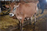 Ear Tag 379,Jersey Cow Pregnant Due 04-2021