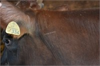 Ear Tag 336,Jersey Cross Cow Pregnant Due 03-2021