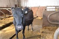 Ear Tag 345,Holstein Cross Cow Due 03-2021