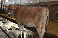 Ear Tag 359,Jersey Cow Pregnant Due 04-2021