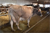 Ear Tag 320,Brown Swiss Cow,Pregnant Due 12-2020