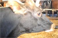 Ear Tag 337,Holstein Cross Cow,Due 01-2021