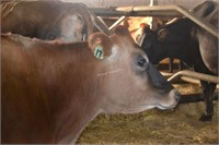 Ear Tag 17,Jersey Cow,Pregnant Due 03-2021