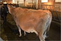#9302  -  Jersey Cow -  Preg due 03/ 2021