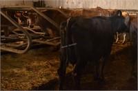 Ear Tag 372,Holstein Cross Cow,Preg Due 04-2021