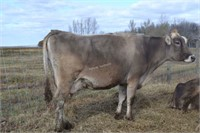 #8 -Brown Swiss Cow - Due: 04-2021