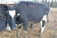 #1454 - Dairy Cow-Holstein-exposed to Jersey Bull