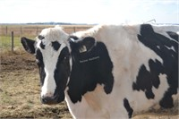 #1419 - Dairy Cow -Holstein,exposed to Jersey Bull