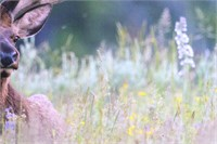Rocky Mountain Elk Photo On Canvas