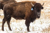55th Annual Custer State Park Bison Auction