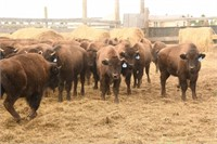 Brownotter Buffalo Ranch Annual Production Auction