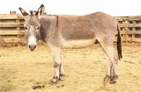 Custer State Park Burro Auction