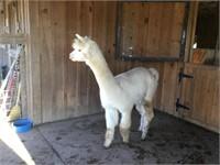 Mid Atlantic Alpaca/Llama Winter Celebration Online Auction