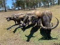 Indonesian Water Buffalo Herd Dispersal