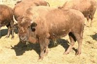 Wild Winds Buffalo Preserve, 1st Production Auction