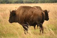 3 Suns Bison Ranch-Final Dispersal Bison Auction