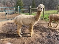 Mid Atlantic Alpaca/Llama Winter Celebration Online Auction