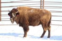 North Dakota Buffalo Assn. Multi-Producer Simulcast Auction
