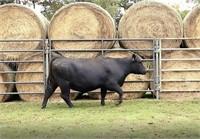Northwest TN Cattleman's Association Replacement Heifer Sale
