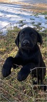 AKC REGISTERED LAB PUPPY - NWTF BENEFIT