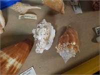 Various Sea Shells from Collection