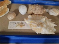 Assortment of Sea Shells from Collection