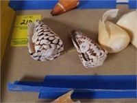 Collection of Cone Sea Shells